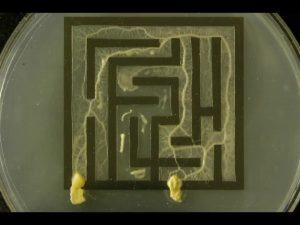 Blob dans un labyrinthe