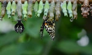 Comment fonctionne la mémoire des papillons à l'état de chrysalide