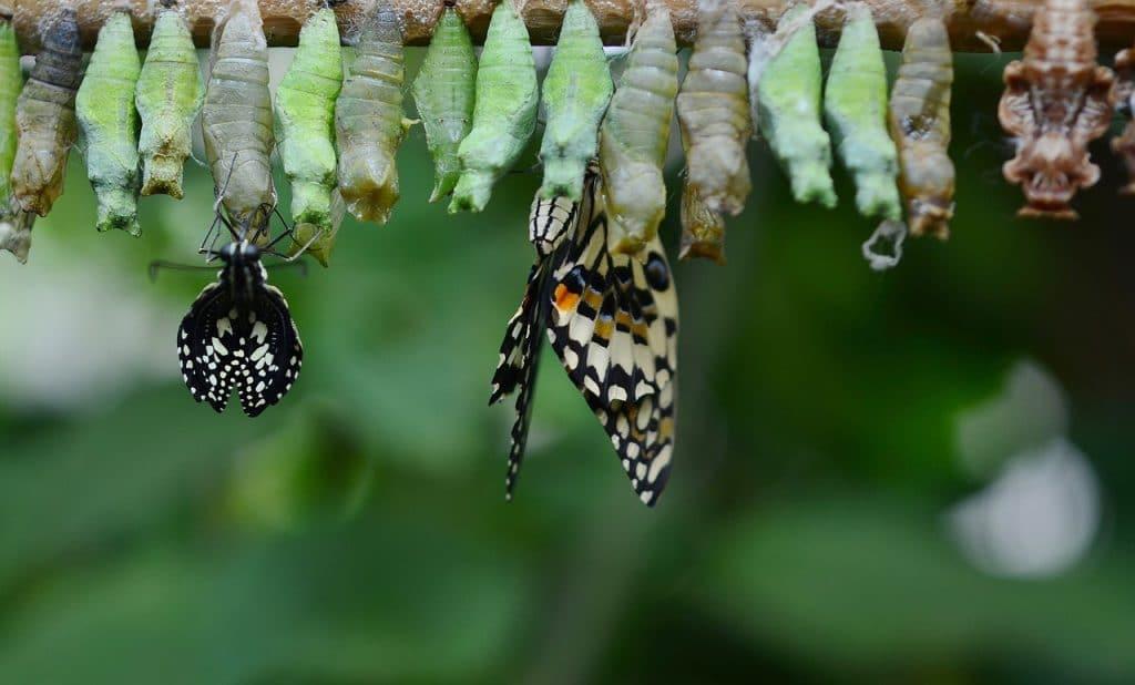 le papillon est un organisme multicellulaire