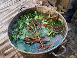 l'ayahuasca, une boisson rituel dans le chamanisme amérindien