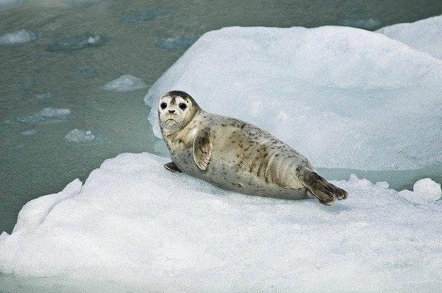 Les phoques touchés par la fonte des glaces