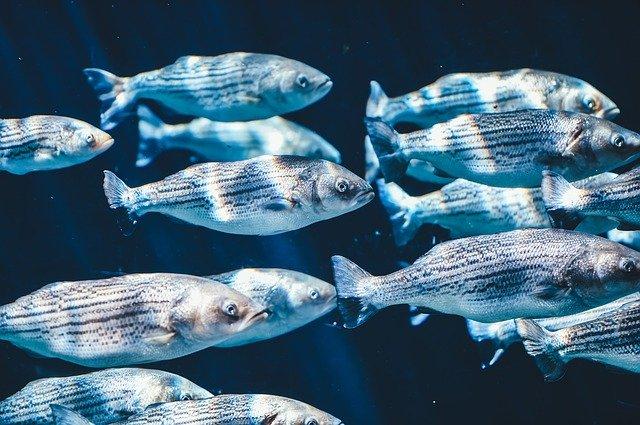 Les poissons communiquent entre-eux.