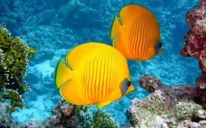 les poissons communiquent