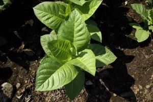 plantes de tabac émettent des sons