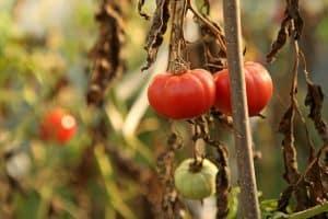 plantes de tomates émettent des sons