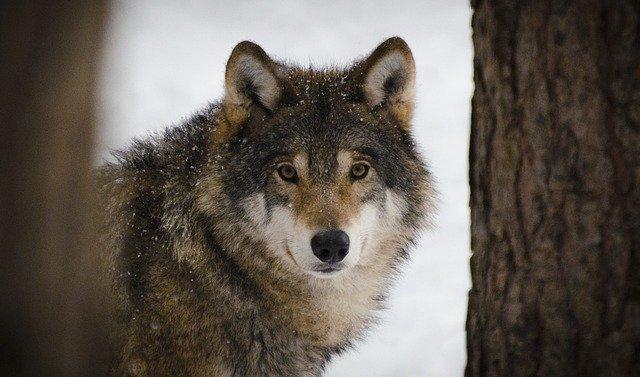 communication télépathique entre les loups