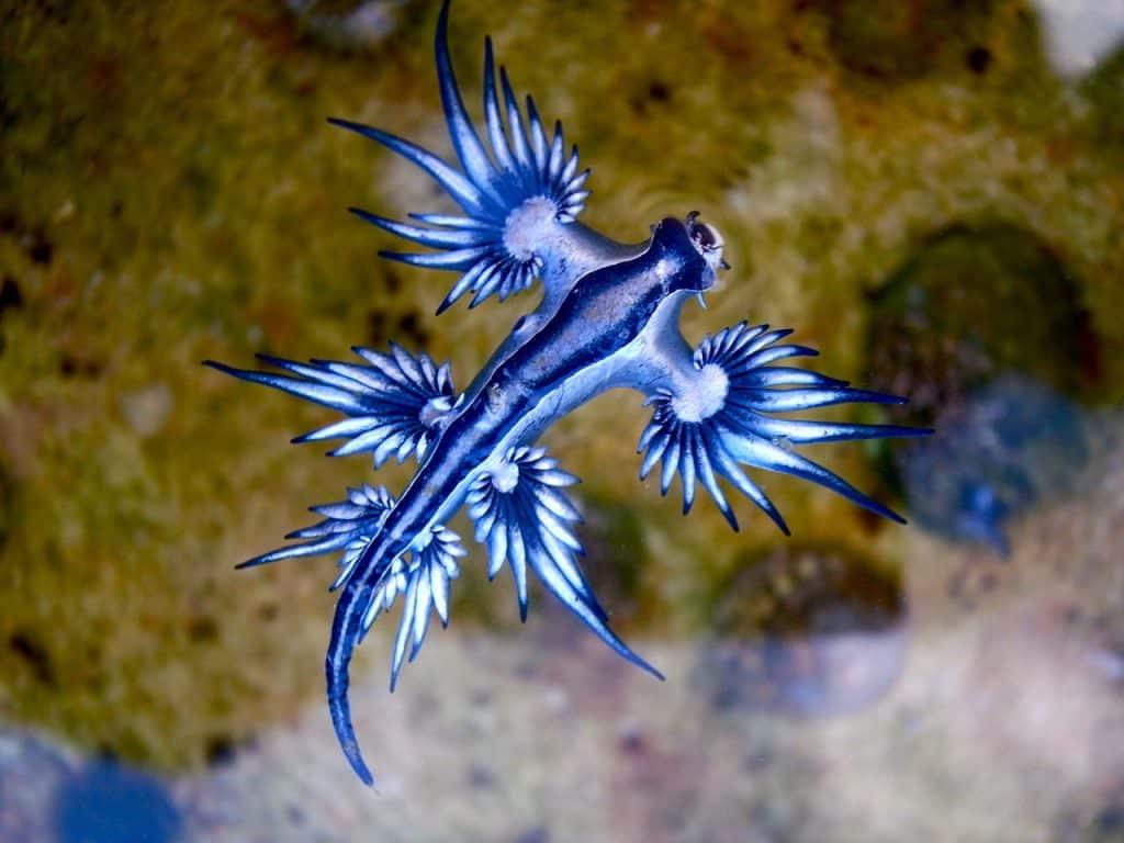 Le dragon bleu des mers une magnifique créature