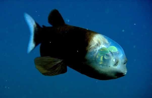 Un étrange poisson à la tête transparente