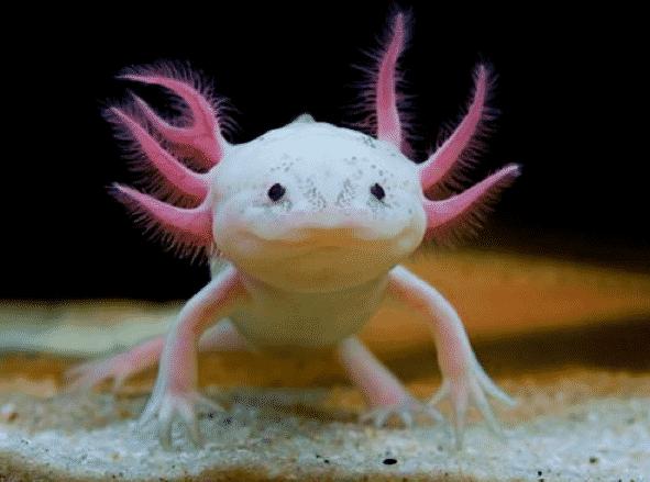 L'axolotl est une étrange créature aux apparence de pokémon