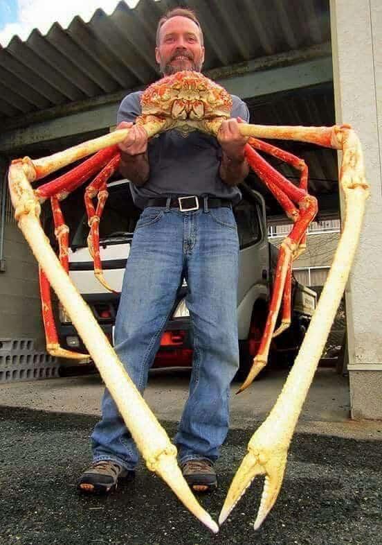 Un crabe araignée hors norme