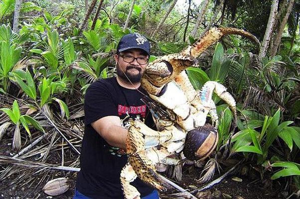le crabe cocotier