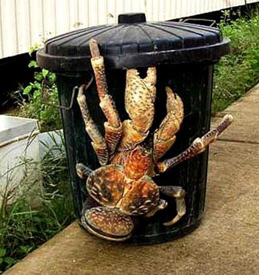 Le crabe cocotier est surprenant par sa taille
