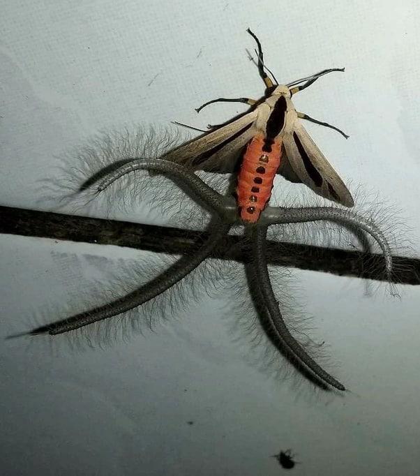 Le créatonotos gangis est un papillon de nuit qui fait partit des créatures aux allures étranges