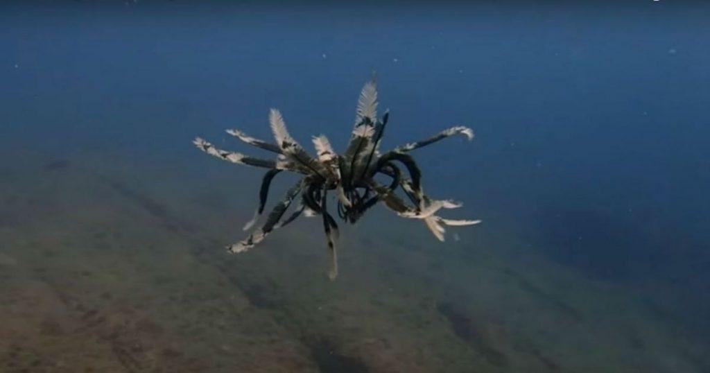 L'étoile de mer à plume une étrange créature observé au large de Bali