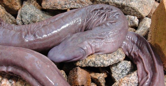 Le poisson pénis à une morphologie atypique