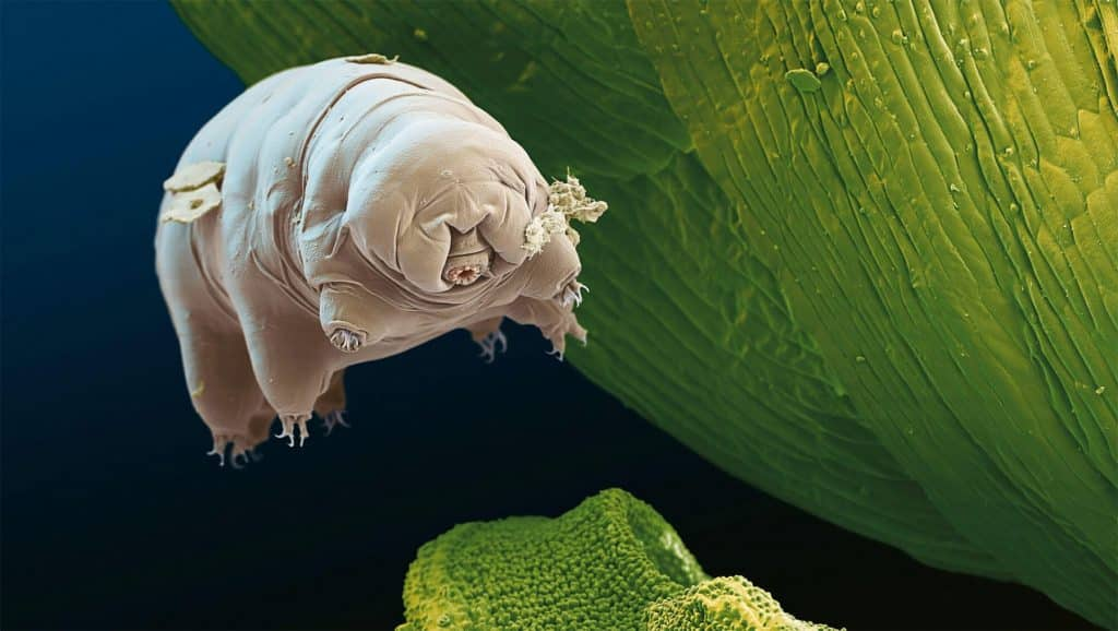 Le tardigrade un invertébré incroyablement résistant