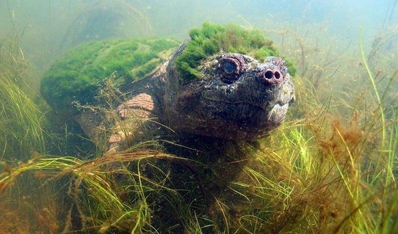 La tortue punk, une étrange créature avec une crête d'algues