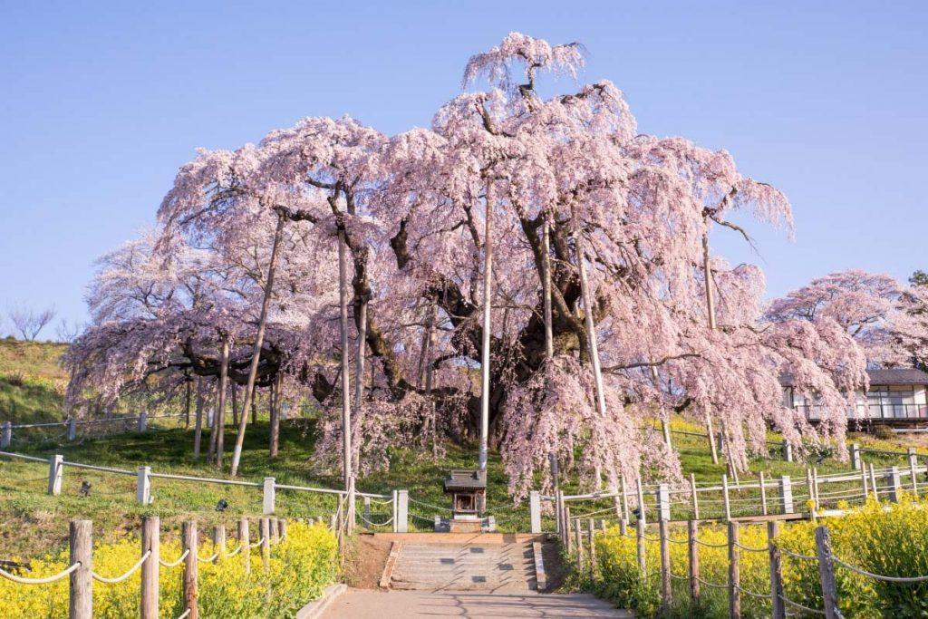 la longévité du cerisier du japon est un exemple de l'intelligence de la nature