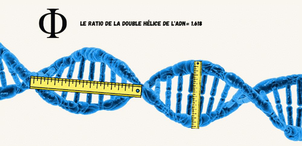 Le nombre d'or présents dans l'ADN
