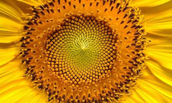 Le nombre d'or au cœur des fleurs