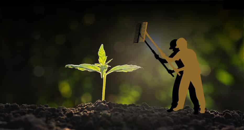 La domestication du cannabis était pratiquée dès le début de l'agriculture.